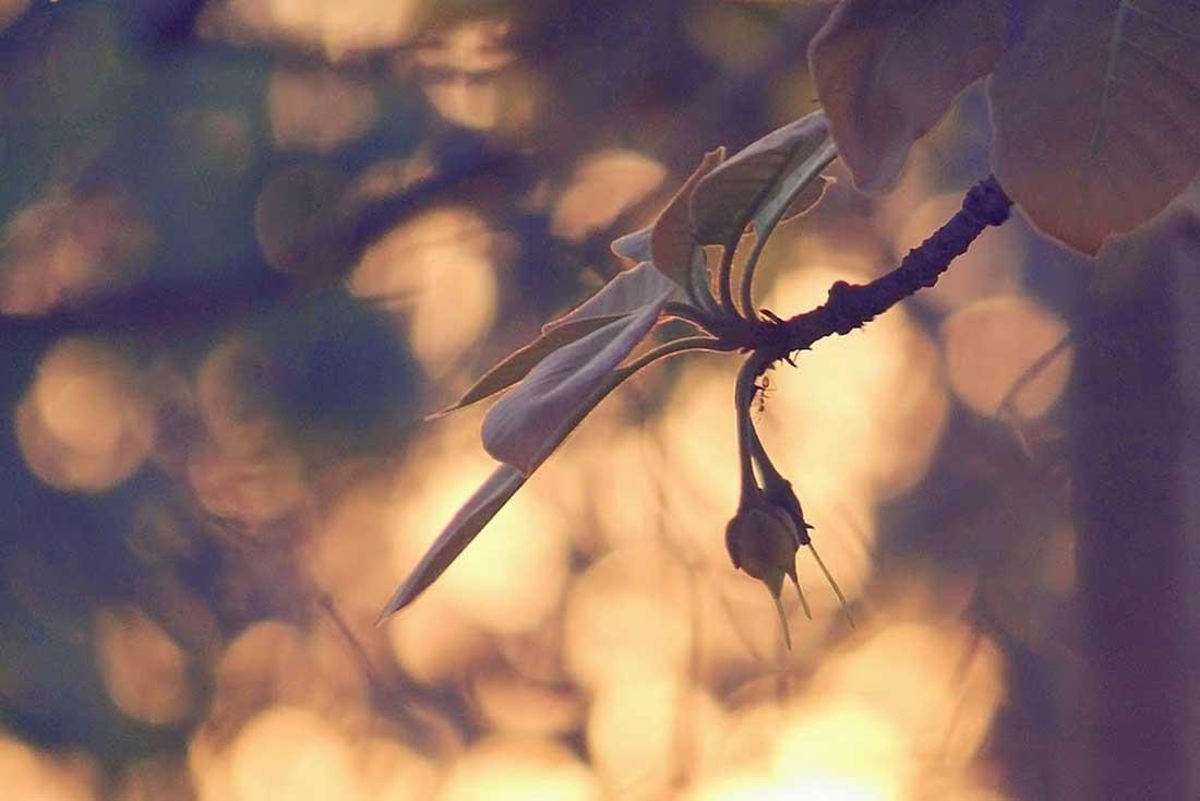 Mahu Flower Silhouette